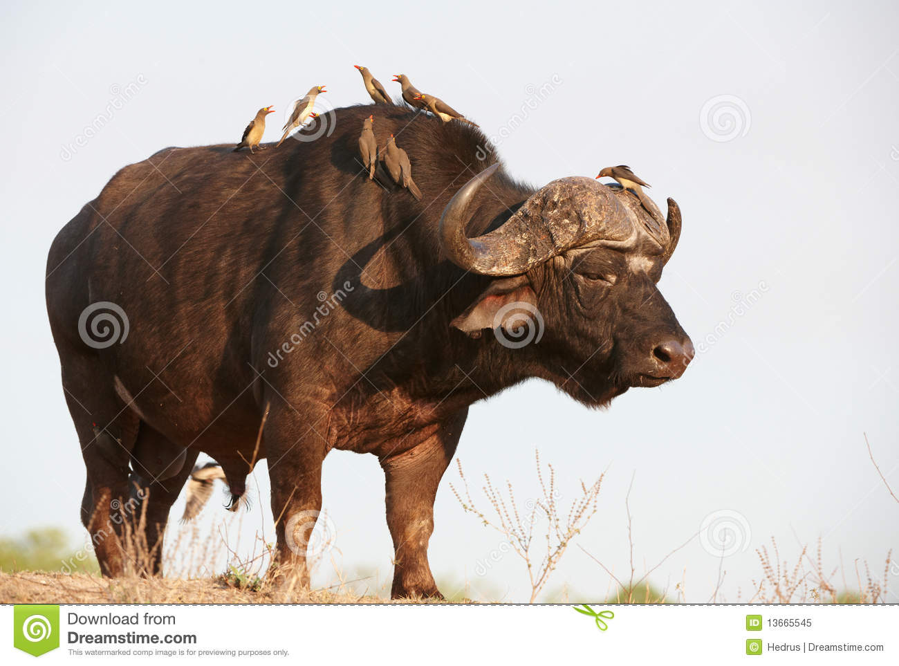 Buffalo (Syncerus Caffer) In The Wild Royalty Free Stock Photo.