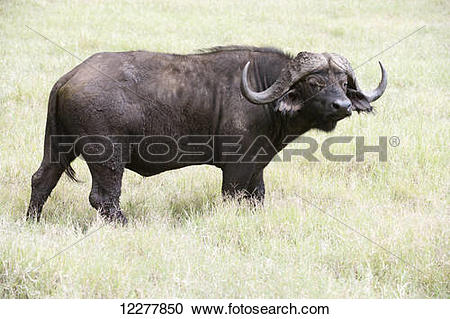 Stock Photography of Large bull Cape Buffalo (Syncerus caffer.