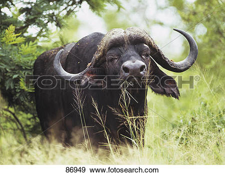 Stock Photograph of African Buffalo.
