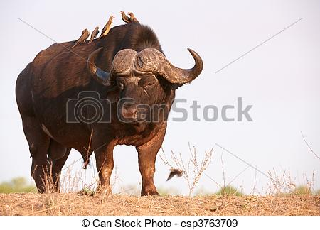 Stock Photographs of Buffalo (Syncerus caffer) in the wild.