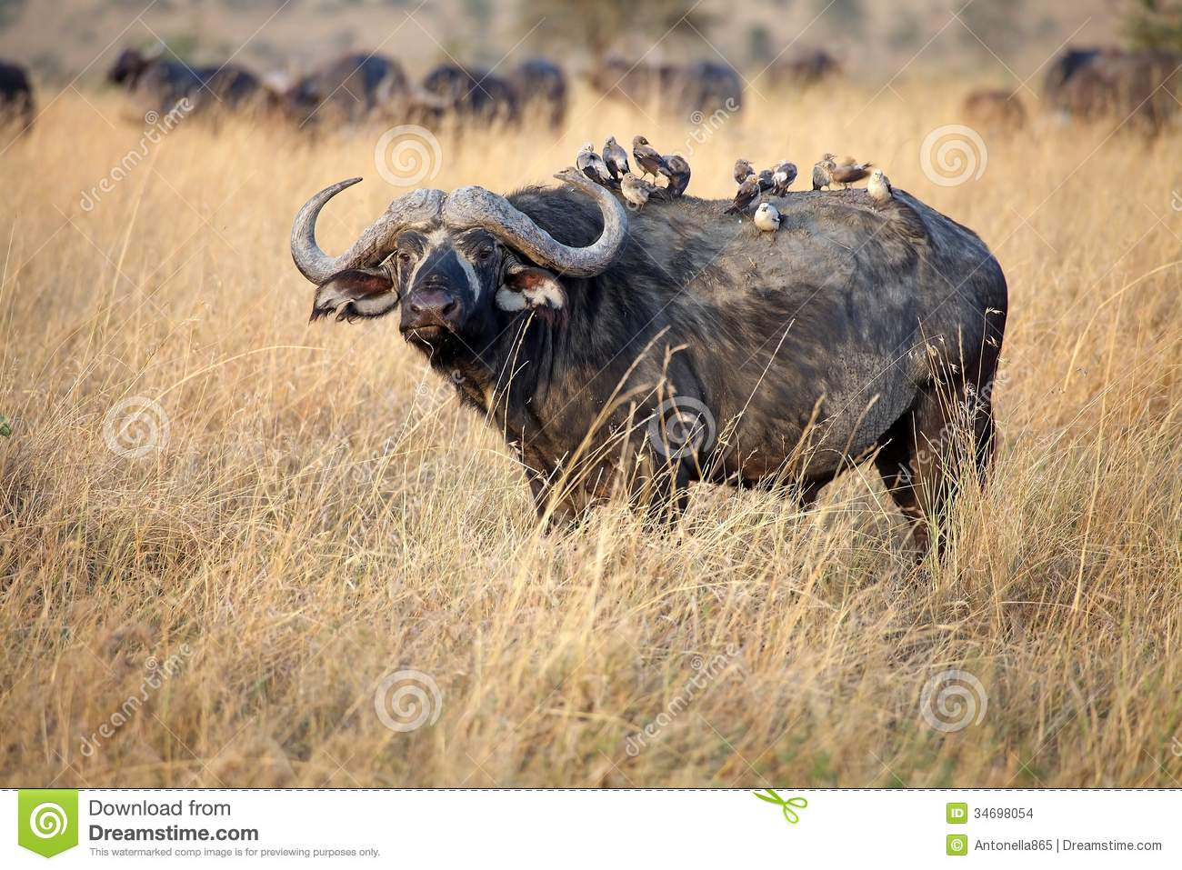 African Buffalo (Syncerus Caffer) Stock Images.