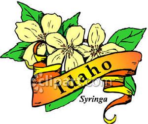 Flower of Idaho, the Syringa Flower with Gold Idaho Banner Royalty.