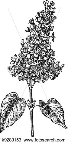 Clipart of Lilac or Syringa sp., vintage engraving k9283153.