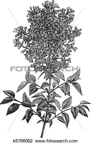 Clipart of Syringa vulgaris (lilac or common lilac) vintage.