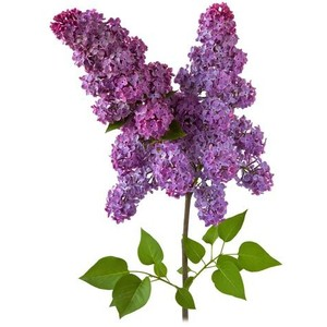 syringa-vulgaris-clipart-17 Valentine S Day Application Form on visitors application form, birthday application form, admission application form, secretary application form, make your own application form, valentine's luncheon, christmas application form, indian passport cancellation application form, elf application form, new job application form, valentine's templates pattern, dating application form, dinner menu and order form, friends with benefits application form, author application form, valentine's lunch, lowe's job application form,