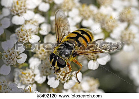 Stock Photography of Myathropa florea, Syrphid fly k8492120.