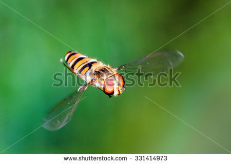 Syrphid.