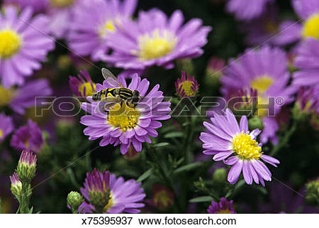 Picture of Syrphid fly on Suntop Aster flower, Chicago Botanical.