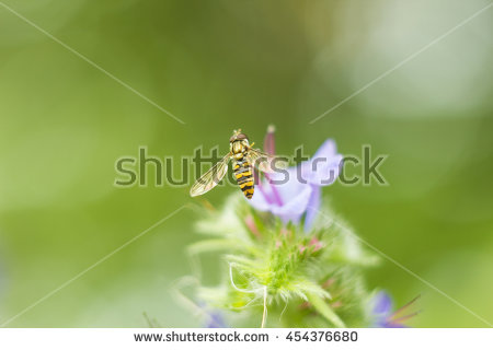 Syrphid Stock Photos, Royalty.