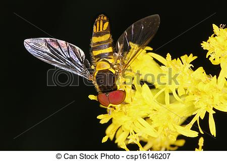 Stock Photography of Syrphid Fly Mimicking a Bee on Goldenrod.