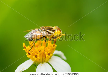 "syrphid Fly"" """" Stock Photos, Royalty."