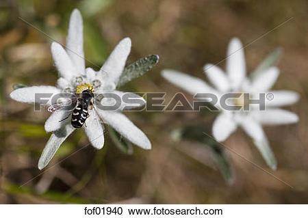 Stock Photography of Austria, Syrphid fly (Scaeva pyrasti) on.