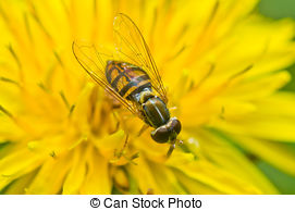 Stock Photo of Syrphid Fly on Dandelion.