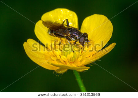 Syrphid Fly Stock Photos, Images, & Pictures.