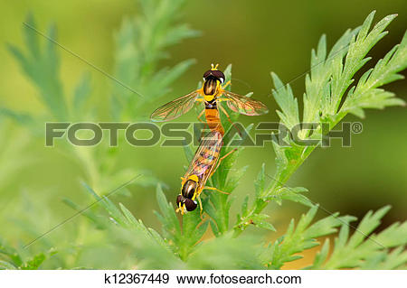 Stock Photograph of syrphidae insects k12367449.