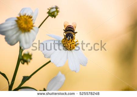 Syrphidae Stock Photos, Royalty.