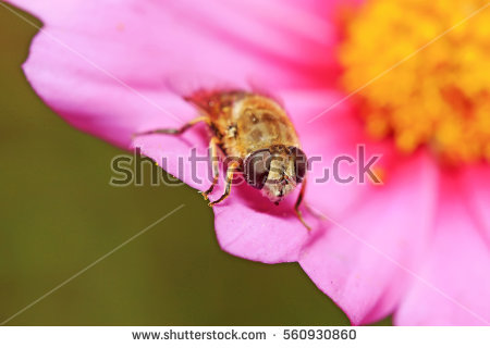 Syrphidae Stock Photos, Royalty.