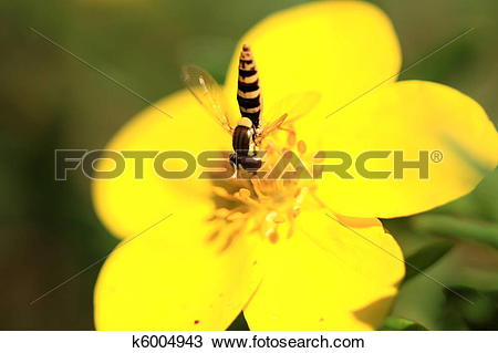 Stock Photo of hoverfly Syrphe syrphidae k6004943.