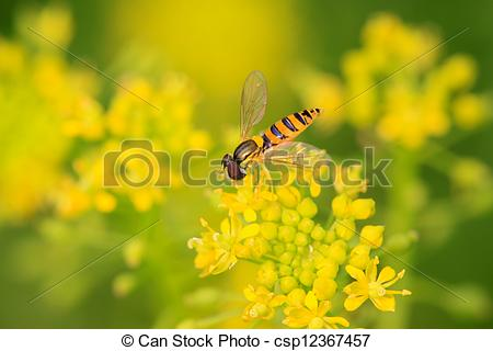 Stock Images of syrphidae insects.