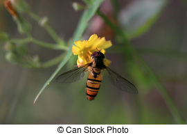 Picture of Syrphidae insect on a white flower looking for honey.
