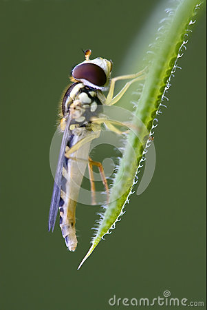 Syrphus Ribesii Hoverfly Larva Stock Photo.