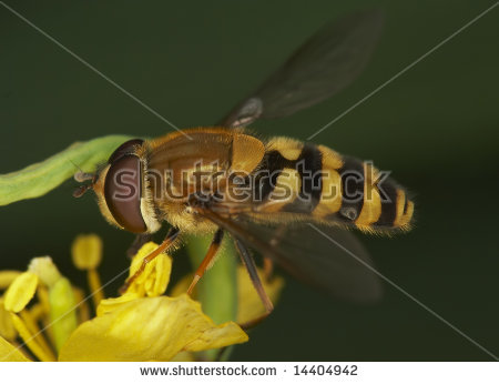 Syrphus Fly Stock Photos, Images, & Pictures.