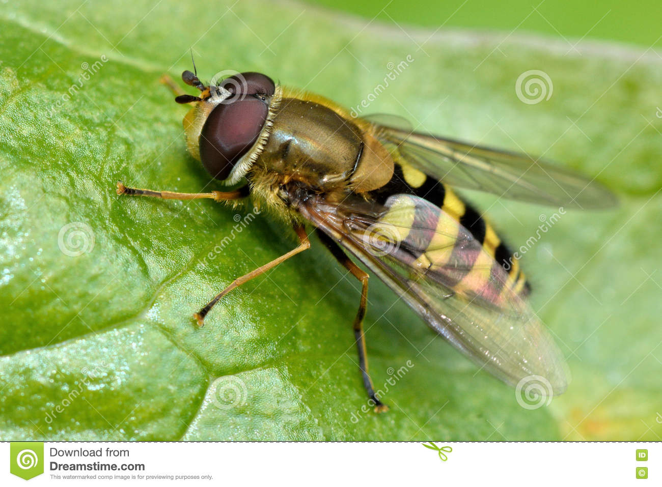 Syrphus Vitripennis Hoverfly Stock Photo.