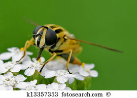 Syrphus ribesii Stock Photo Images. 24 syrphus ribesii royalty.
