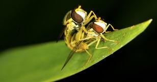 Syrphus Ribesii Hoverfly Larva Stock Photo.