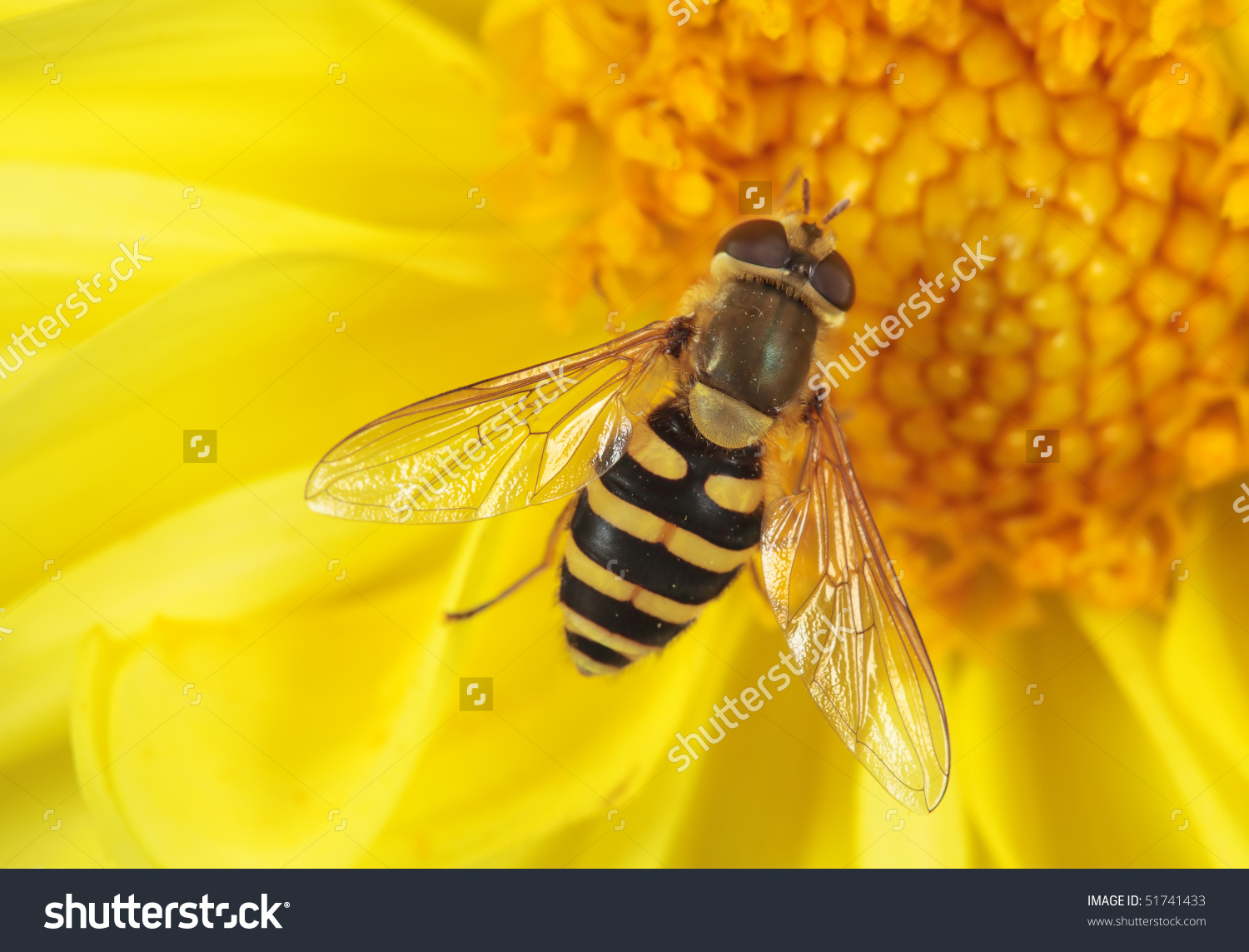 Fly Sits On A Flower. Insecta / Diptera / Syrphidae / Syrphus.