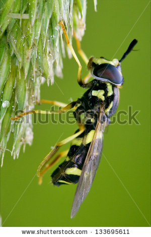 Syrphus ribesii Stock Photos, Images, & Pictures.