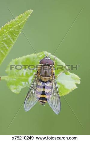 Stock Photograph of Hoverfly, Syrphus ribesii, resting on bird.
