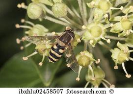 Syrphus ribesii Stock Photo Images. 24 syrphus ribesii royalty.