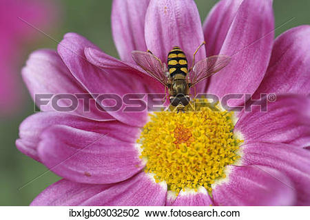 Stock Photo of Common Banded Hoverfly (Syrphus ribesii) sitting on.