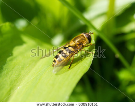 Ribesii Stock Images, Royalty.