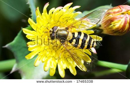 Wasp Imitating Fly (Syrphus Ribesii) Feeding On Pollen Stock Photo.
