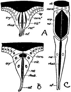Pancrustacea.