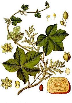 Jateorhiza.