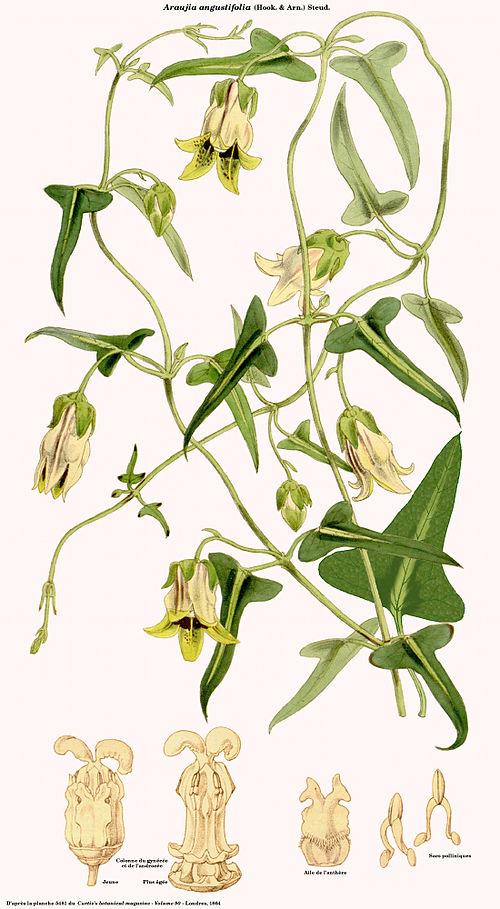 Araujia angustifolia.