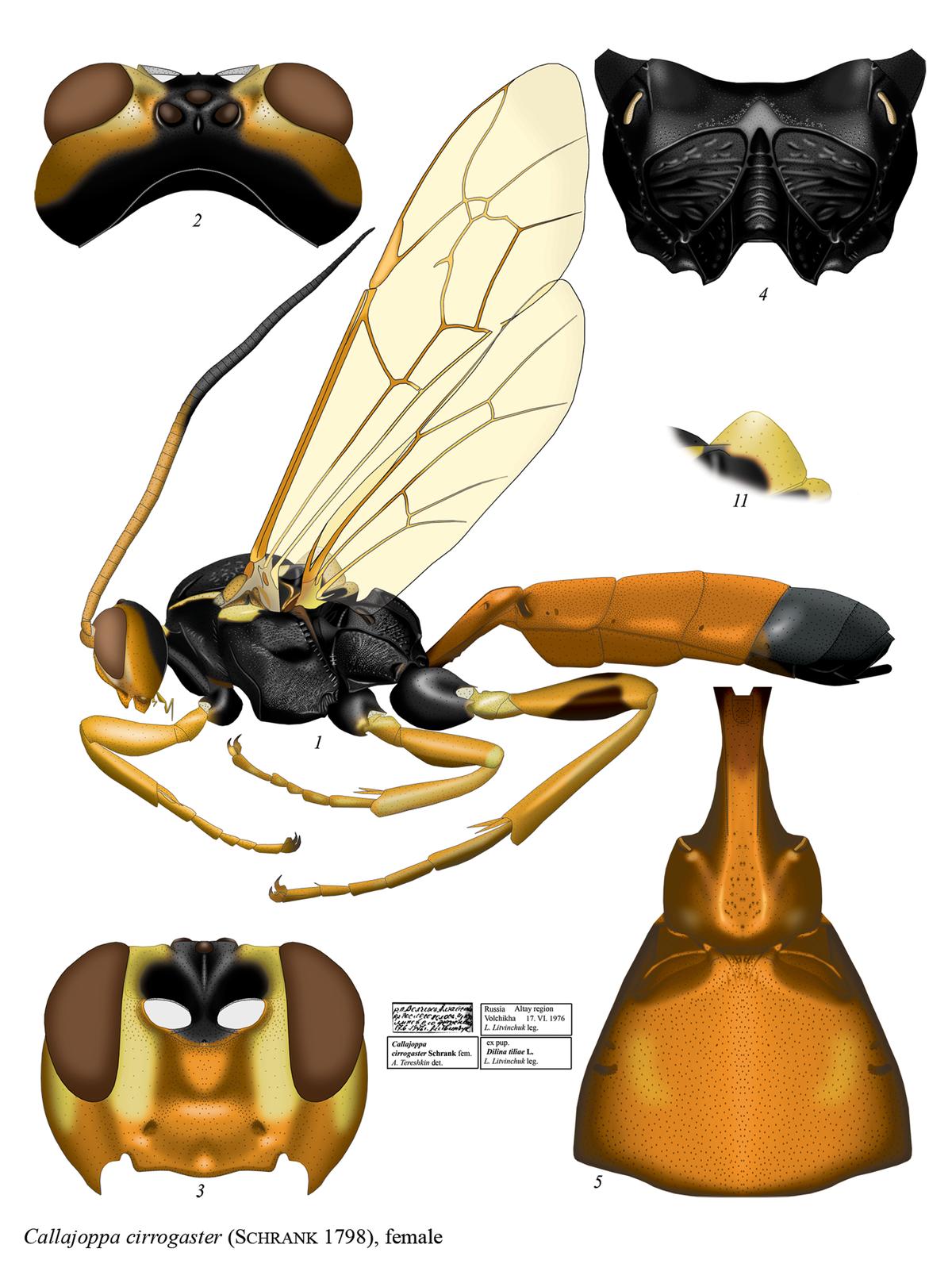Callajoppa cirrogaster.