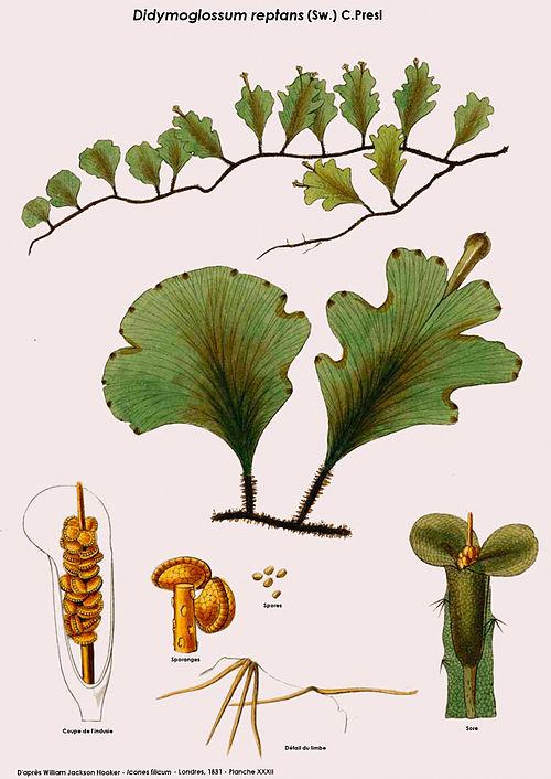 Didymoglossum.