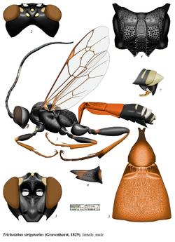 Tricholabus.