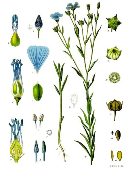 Lin (växt).