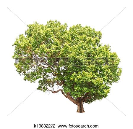 Stock Photo of Jambul (Syzygium cumini) tree k19832272.