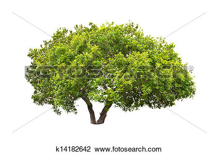 Stock Photo of Jambul Syzygium cumini tree k14182642.