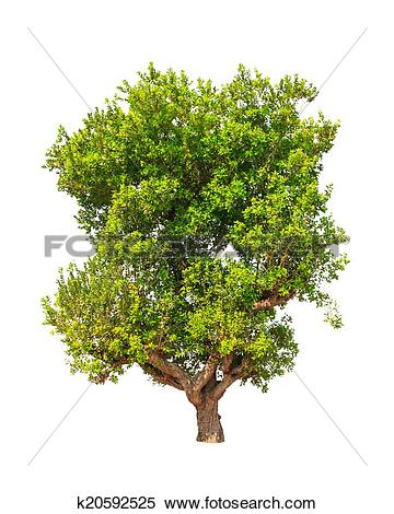 Stock Image of Jambul (Syzygium cumini) also known as Jambolan.