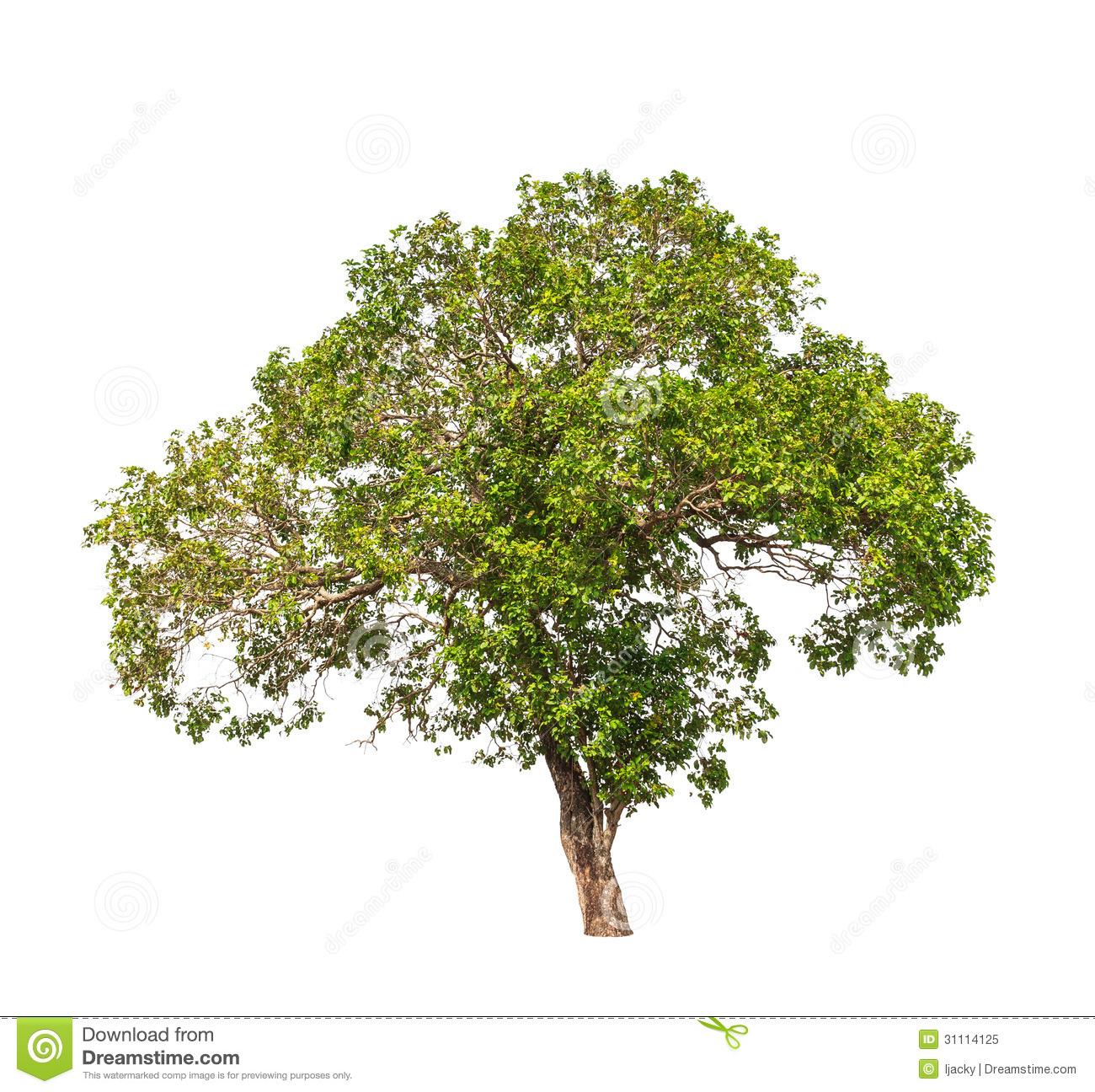Jambul (Syzygium Cumini) Royalty Free Stock Photo.