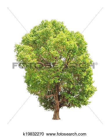 Stock Photography of Jambul (Syzygium cumini) tree k19832270.