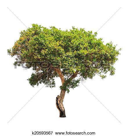 Picture of Jambul (Syzygium cumini) also known as Jambolan plum.