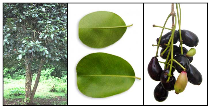 Duhat, Syzygium cumini, BLACK PLUM / JAVA PLUM, Hai nan pu tao.